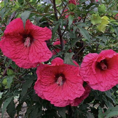 fiori ibisco ibisco gigante piante da giardino caratteristiche dell