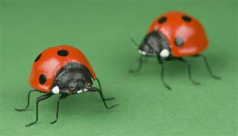 colors of ladybugs the meanings of the colors of ladybugs animals me
