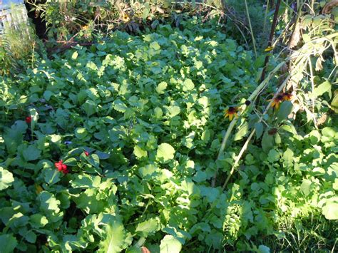 Garden Cover Crop by Cover Crops For Gardens And The Cover Cropping