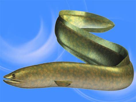 Bibit Belut Ekspor cara budidaya belut sumberdaya kelautan dan perikanan