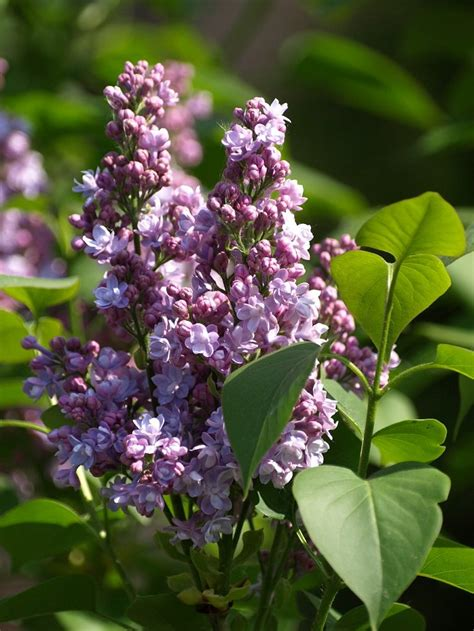 top 10 fragrant plants for a sensory garden paradise page 2 of 2 garden pics and tips