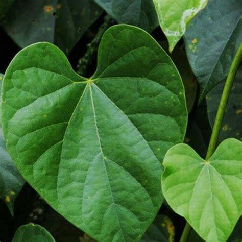 tanaman obat asam urat sebagai obat herbal asam urat