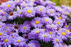 fiore autunnale 13 fioriture autunnali fito