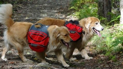 golden retriever rescue la secours golden retriever rescue qu 233 bec