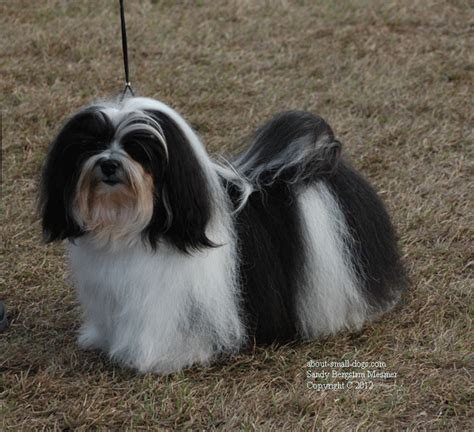 do havanese shed a lot havanese