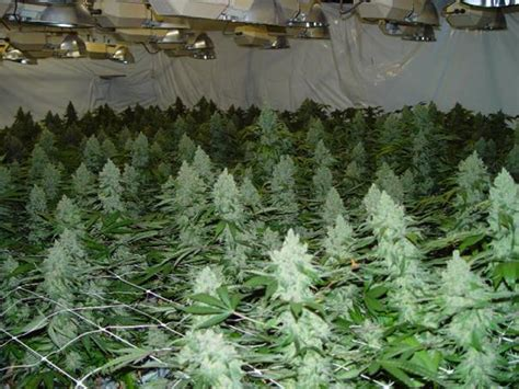 how to grow a plant in my room growing powerplant in a big set up www hempcity net