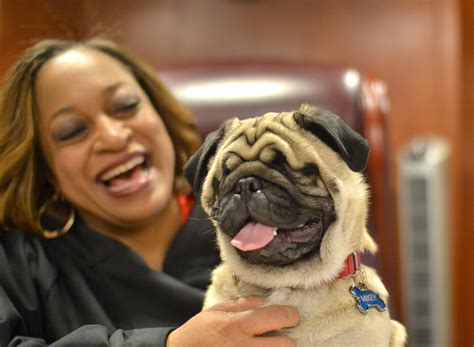 blind pug adorable blind pug and judge are inseparable best friends my modern met