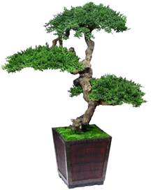 bonzi tree photos bonsai trees