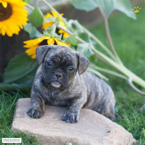 blue pug for sale frug bulldog pug puppy for sale in pennsylvania this puppy