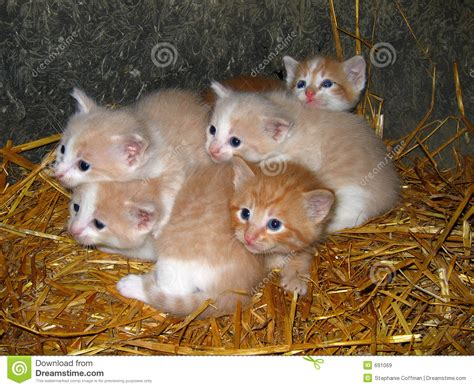 Yellow Kittens Royalty Free Stock Images   Image: 691069