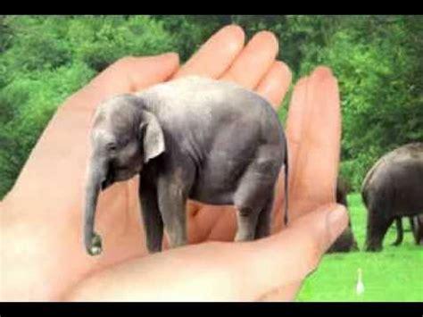 worlds smallest elephant   amazon youtube
