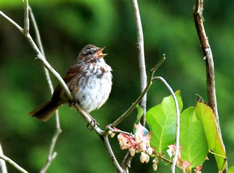 the song get my lawn song sparrows escalate territorial threats with uw news