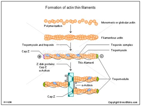 filament diagram formation of actin thin filaments illustrations