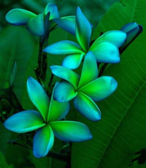 beautiful green color blue green plumeria beautiful pinterest