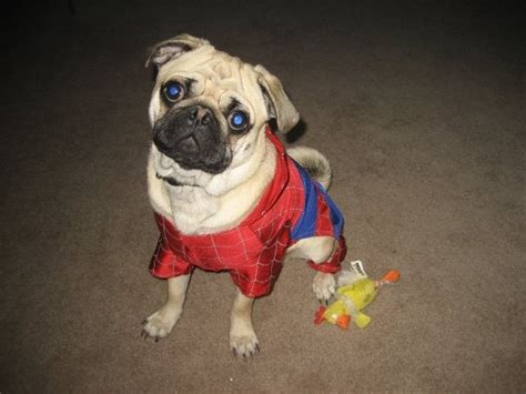 pug spider costume spider pug pictures to pin on pinsdaddy