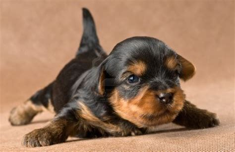 yorkie puppies in animal facts yorkie puppies
