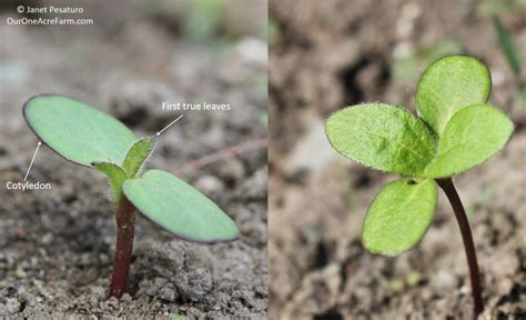 tiny plant guide to growing sunflowers