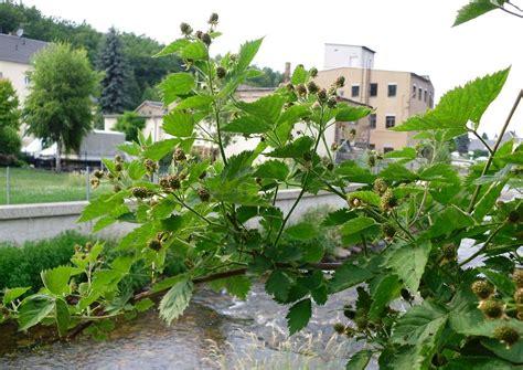 garten im juli brombeeren im juli fruchtansatz nach schnitt austrieb am
