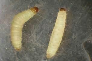 Moths In Kitchen Cabinets Cadico Minhocas