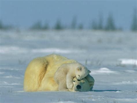 a polar cub rests soundly atop its mothers fotodruck norbert rosing bei allposters de
