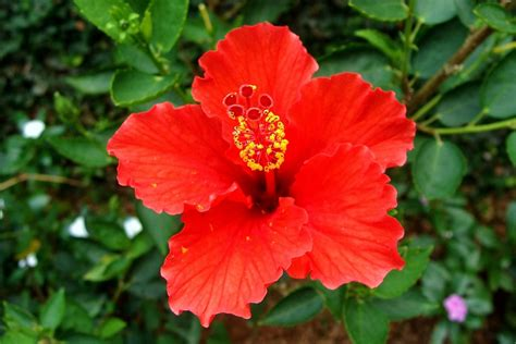 Sepatu Jungle Caterpillar free photo hibiscus flower free image on pixabay