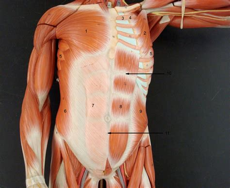 chest diagram muscles anatomy lab photographs chest muscles