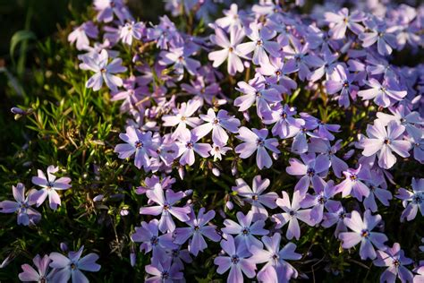 best purple cover hardy ground covers what are the best ground covers for