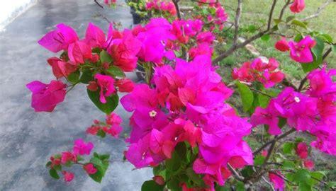 gambar bunga terindah  tercantik  dunia lengkap