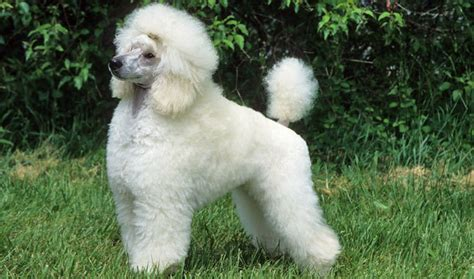 are poodles dogs poodle breed information