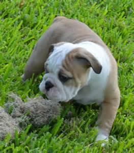 Adopt an english bulldog dogs for sale english bulldog english