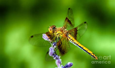 dragonfly summer photograph by scotts scapes