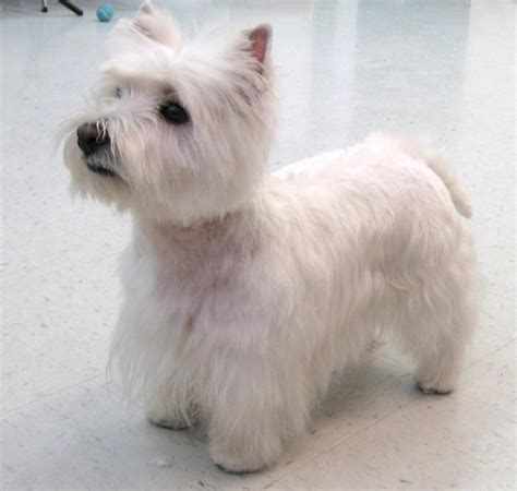 images of westie haircuts photos of westie grooming styles photos of westie