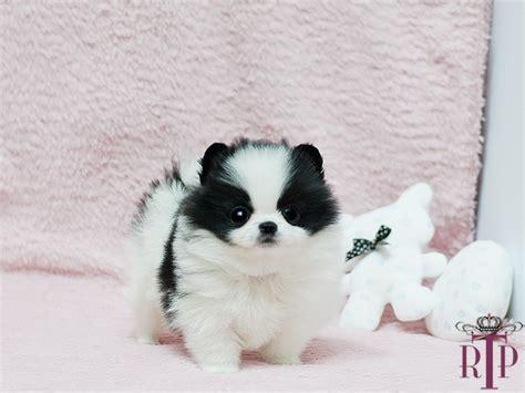 panda pomeranian pomeranian panda baby panda handsome micro black white pomeranian royal teacup