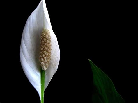 peace lily 10 best plants to grow indoors for air purification world truth tv