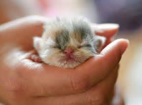 newborn kitten kittens pinterest