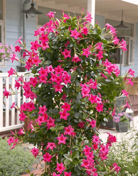 sundaville fiore sundaville pink world s no 1 mandevilla dipladenia