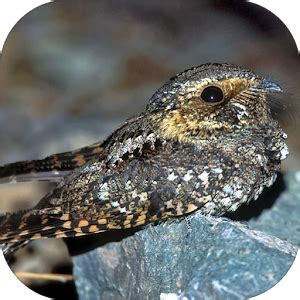 whippoorwill bird sounds android apps on google play