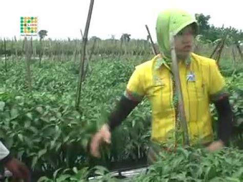 Pupuk Organik Bioboost testimoni pupuk k bioboost untuk tanaman cabe