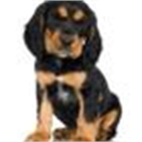 rottweiler with white patch on chest why do some rottweilers white spots on the chest ehow