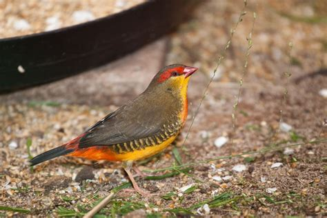 male yellow breasted waxbill finch martybugs photo galleries