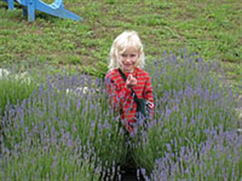 when is lavender in season in michigan lavender hill farms laundry bar lavender products