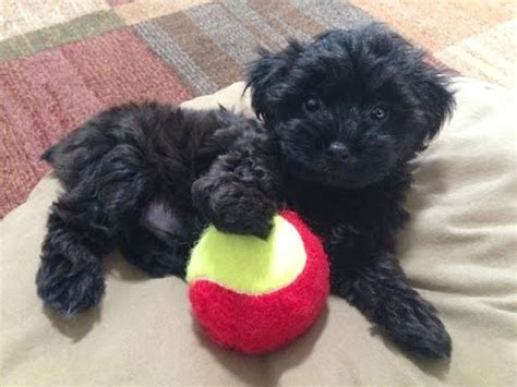 free yorkie poo yorkie poos for sale ocala florida michelines pups