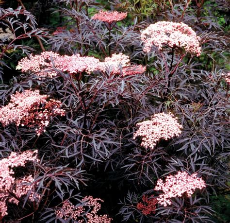 Beautiful Indoor Plants by Sambucus Nigra Black Lace Black Elder Sambuca Plant
