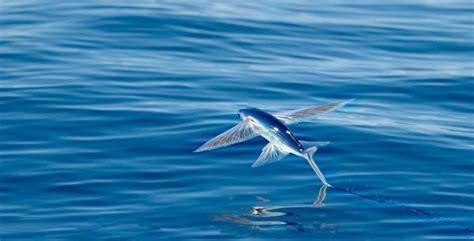 i pesci volanti quello non ci viene detto pesci volanti nella laguna