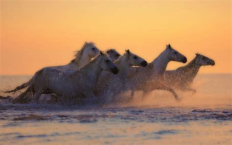 white horses galloping  sunset  uhd wallpaper