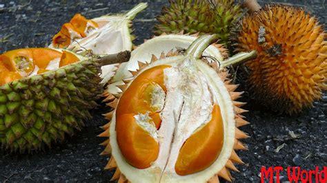 open  eat jungle durian  durio kutejensis