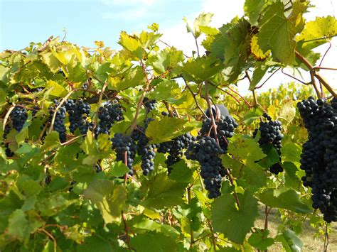 growing grapes for home use yard and garden university