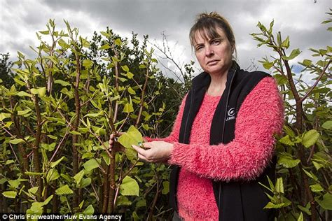 would you buy a house with japanese knotweed how to spot japanese knotweed and what mortgage lenders say about it daily mail online