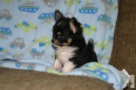 chihuahua puppies for sale in tn chihuahua teeny tiny puppy for sale in brush creek tennessee classified