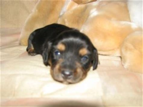 puppies erie pa dachshund puppies erie pa photo